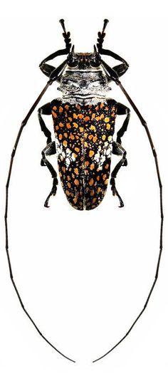 Lochmaeocles callidryas