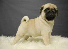 Pug Cachorros Super Calidad Vip -   4 84b917caccd