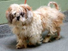 SAFE --- SUPER URGENT 3/6/14  Manhattan Center    NIKI - A0993187   FEMALE, WHITE / TAN, SHIH TZU MIX, 10 yrs  STRAY - STRAY WAIT, HOLD FOR ID Reason STRAY   Intake condition ILLNESS Intake Date 03/05/2014, From NY 10453, DueOut Date 03/08/2014  https://www.facebook.com/photo.php?fbid=768478773165004&set=a.617942388218644.1073741870.152876678058553&type=3&permPage=1