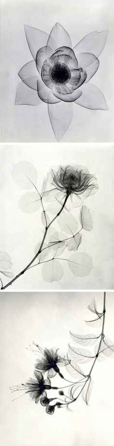 X-Ray Photographs From the 1930s Expose the Delicate Details of Roses and Lilies