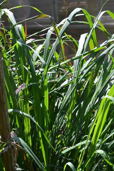 Lovely Lemongrass: How to Grow, Harvest, and Cook with Lemongrass (Plus a Recipe).