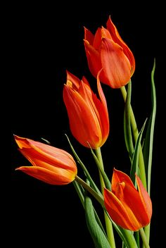 Tulips by mstoy, via Flickr