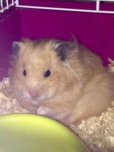 My beautyful hamster Rikkie❤I love my woolly hamster.