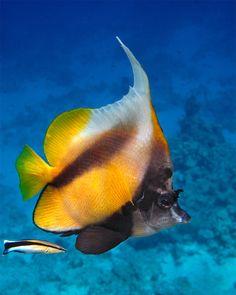 Bannerfish (Heniochus Intermedius) in the Red Sea Life Under The Sea, Under The Ocean, Sea And Ocean, Beautiful Ocean, Animals Beautiful, Fauna Marina, Salt Water Fish, Sea Dweller, Life Aquatic