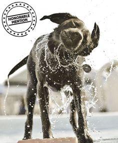 Callie, a chocolate Labrador retriever from Katy, Texas