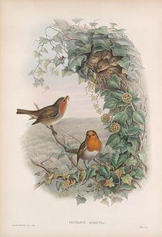 ,Erythacus rubecula (Robin) by John Gould (1804-1881). Taken from 'The Birds of Great Britain.'