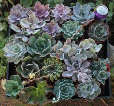 20 Assorted ECHEVERIA Succulents in their 4 inch plastic containers  wedding shower favors party gifts plants succulent. $55.00, via Etsy.