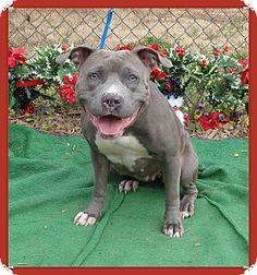 Marietta, GA - American Pit Bull Terrier Mix. Meet MISTLETOE, a dog for adoption. http://www.adoptapet.com/pet/12047210-marietta-georgia-american-pit-bull-terrier-mix