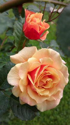 Shrub Rose: Rosa 'Caramella' (Germany, before 2000)