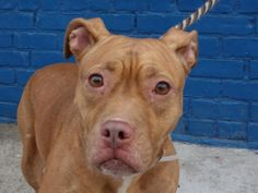 SAFE!  LACI. My Animal ID # is A0988457.  I am a spayed female brown and white bully mix. The shelter thinks I am about 2 YEARS old. Hurry! She's on the euth list for 1/7/14. At NYC Brooklyn Ctr.  You can reserve her online with a $50 credit card deposit, then you must pick her up within 48 hours. Please hurry to save this lovely dog and share her link.