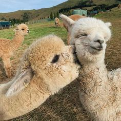 Alpacas love & How cute are them? & New Zealand. Photo by The post Alpacas love How cute are them? Cute Little Animals, Cute Funny Animals, Cute Dogs, Cute Animals Kissing, Smiling Animals, Baby Animals Pictures, Cute Animal Pictures, Animal Pics, Alpacas