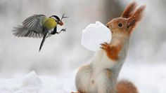 This adorable squirrel in Rostov, Russia thought it had come up with an ingenious hiding place for its nuts - inside a snowball - but one clever great tit sussed him out and stole his treat. Nature Animals, Animals And Pets, Baby Animals, Funny Animals, Cute Animals, Beautiful Birds, Animals Beautiful, Teach Dog Tricks, Photo Animaliere