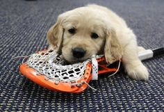 The Denver Outlaws Lacrosse Team did a photo shoot with 8 Golden Retriever puppies and it was pretty much the cutest thing ever. Lacrosse Quotes, Girls Lacrosse, Lacrosse Gear, Cute Puppies, Cute Dogs, Puppy Pose, Lacrosse Sticks, Retriever Puppy, Cutest Thing Ever