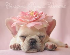 """❤Pink is most certainly """"her"""" color!❤ French Bulldog Puppy"""
