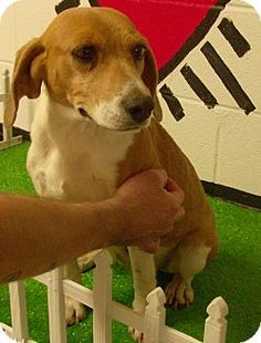 #GEORGIA #URGENT ~ ID 13D-0253-is an #adoptable  #Beagle #dog [ hoarding case- possibly PREGO timid but friendly] available for #adoption  on 2/5/13 & #RESCUE on 2/6/13 in accordance with all applicable policies. Those policies & various forms can be found on our website at http://www.romefloyd.com/CitizenSafety/AnimalControl/RescueGroups/tabid/451/Default.aspx  ~~> FLOYD COUNTY ANIMAL CONTROL  431 Mathis Rd SE  Rome GA 30161 PH 706-236-4537 email broomej@floydcountyga.org Fax 706-233-0032