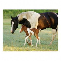 Draw Horses USA Florida Newborn Paint filly Postcard - What a beautiful creature! Baby Horses, Cute Horses, Pretty Horses, Wild Horses, Miniature Cow Breeds, Miniature Cows, Deer Hunting Season, Most Beautiful Horses, Beautiful Gorgeous
