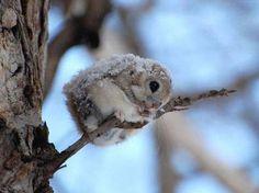 Japanese dwarf flying squirrel!