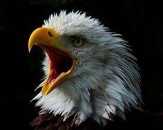 eagle wonderfull animal, I love look flying the eagles. Beautiful Birds, Animals Beautiful, Beautiful Creatures, Majestic Animals, Wild Animals Pictures, Animal Pictures, Wildlife Photography, Animal Photography, Amazing Photography