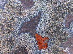 Multicolor Lichen (Detail) by roddh