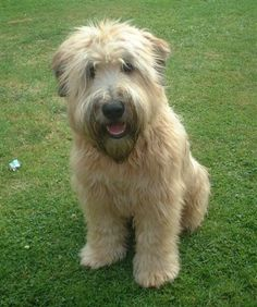 wheaten terrier. This looks much like our dog Govy, The Govenor. I never did know what his daddy was.