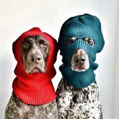 """This doggy duo really knows how to strike a pose. German shorthaired pointer dogs Travis, and Gus, aka """"The Pointer Brothers,"""" werk t. Funny Dogs, Cute Dogs, Funny Animals, Cute Animals, Love My Dog, German Shorthaired Pointer, Tier Fotos, Dog Photography, Photography Series"""