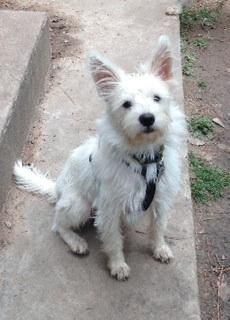 Meet Kyle, a Petfinder adoptable West Highland White Terrier Westie Dog | Spring, TX | ALL OF OUR DOGS ARE FOSTERED IN PRIVATE HOMES. Approved adopters only will be invited to meet the...