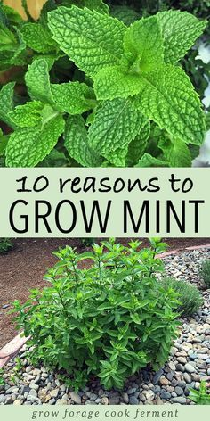 Mint is an herb with so many uses! Learn about why you should have mint in your garden. Grow mint without fear of it taking over! #mint #growmint #herbgarden