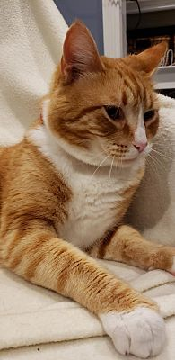 Chester, NJ - Ginger and white Domestic Shorthair. Meet Abe, a Pet for Adoption. Orange And White Cat, Orange Cats, White Cats, Pretty Cats, Beautiful Cats, Animals Beautiful, Funny Cats, Funny Animals, Cute Animals