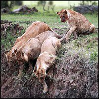 Lioness does the unthinkable to save her stranded baby cub. Mama love.