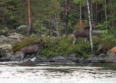 Hirvet uinnin jälkeen Moose after a swim Kangaroo, Moose, Nature Photography, Hunting, Swimming, Animals, Baby Bjorn, Swim, Mousse
