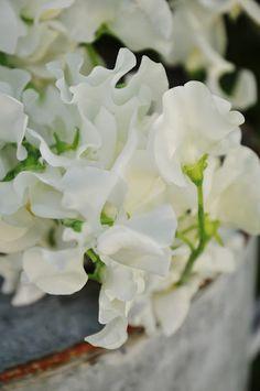 ♥white sweet peas - summer