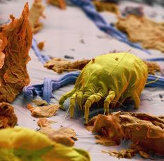 The image is a coloured scanning electron micrograph (SEM) of a single dust mite among skin scales in house dust. Dust mites feed on flakes of shed human skin and are a common cause of asthma and allergic symptoms worldwide.  The image comes from the book 'Micro Monsters' by Tom Jackson. Credit: Science Photo Library/Tom Jackson/Barcroft Media
