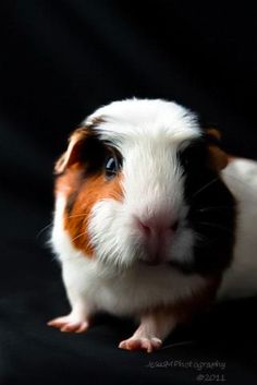 TAKING GREAT PHOTOS OF YOUR GUINEA PIG – TIPS FROM A PROFESSIONAL PHOTOGRAPHER