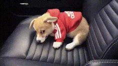OHMYGOSHOHMYGOSH HOW IS IT EVEN POSSIBLE FOR SOMETHING TO BE THIS CUTE?! AHHHH! SORRY IM A HUGE CORGI FAN IF YOU COULDNT TELL