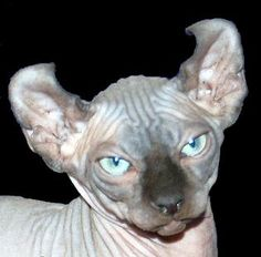 6 Strange Breeds of Hairless Cats | The Featured Creature: Showcasing Unique and Unusual Wildlife