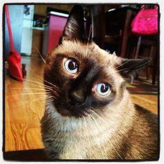My Siamese cat!!!