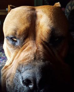 Pitbulls are awesome See More at fb.me/pitloversclub #pitbull #pitbullsofinstagram #pitbulls #pitbulllove #pitbulladvocate #pitbulllife #pitbullsofig #pitbullpuppy #pitbullmom #pitbullmix #pitbullsofficial #pitbullpride #pitbullinstagram #pitbulllover #pitbulllovers #pitbullnation #pitbullgram_ #pitbullterrier #pitbullgram #pitbullfriends #pitbullsarelove #pitbullrescue #pitbullvixens #pitbullove #pitbullproblems #pitbullfamily #pitbullmommy #pitbullsofinsta #pitbullsrule #pitbulllovers…