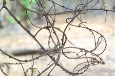 thorny vines - Google Search