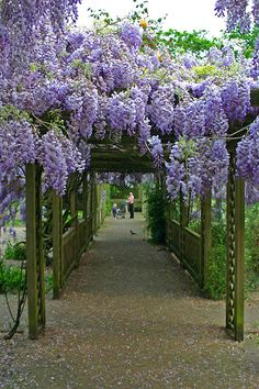 Pretty Walkway. ::: Love wisteria, reminds me of the South. Lorr