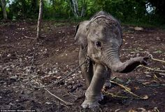 They Took This Poor Baby Elephant HOSTAGE. The Reason Why Is Absurd.