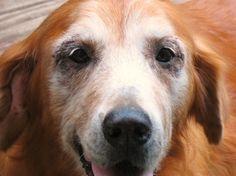 My precious Abigail, my puppy mill puppy. She was my heart. I miss her so much. My Golden Retriever.