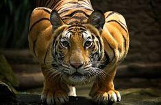 Τίγρεις: Η εξωτική ομορφιά τους σε 21 καταπληκτικές φωτογραφίες!