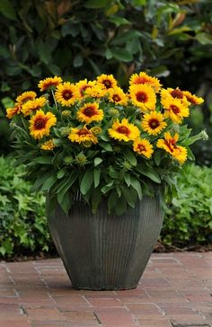 2015: Year of the Gaillardia - Mesa Bright Bicolour. Because each flower head grows on its own stem and lasts long, all gaillardia make great cut flowers.