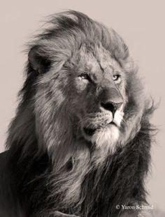 Resultado de imagem para black and white lion