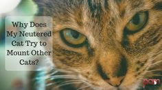 Do you have a neutered cat who still tries to mount other cats? Here are some possible reasons for the behavior.
