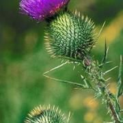 Herbs to Stabilize Liver Enzymes   LIVESTRONG.COM