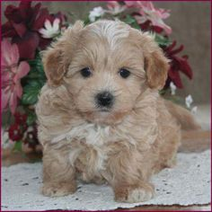 Maltipoo Puppies 4 Sale| Apricot Puppy| Dog Breeders | Iowa.....that's where we got our Baxter!!!!