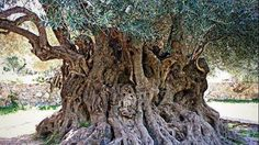 """The cultivation of the olive tree is spread all over Greece since ancient times. It goes back to 4000 BC! Greeks have always referred to their olive oil as the """"the liquid gold"""" of their country. Athena Goddess, Olive Tree, Greece Travel, Around The Worlds, Plants, Liquid Gold, Greeks, Olive Oil, Google"""