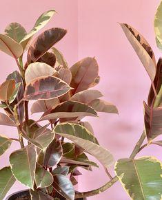Rubber Plant, Rubber Tree, Ficus Elastica, Lemon Lime, Plant Care, Greenery, Plant Leaves, Trees, Colour