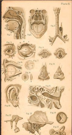 Medical Drawings, Medical Art, Medical Science, Medical History, Anatomy Drawing, Anatomy Art, Human Anatomy, Dog Anatomy, Anatomy Illustration